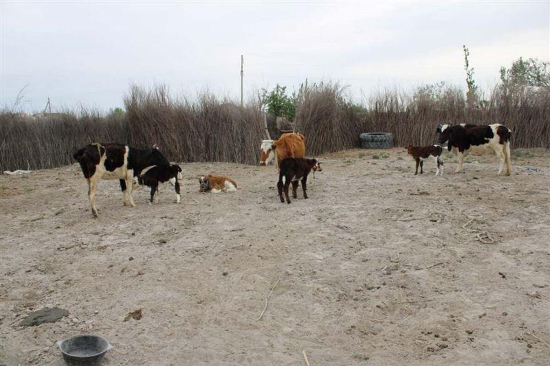 Полицейские задержали пастуха, присвоившего коров на 1 млн тенге в Туркестанской области