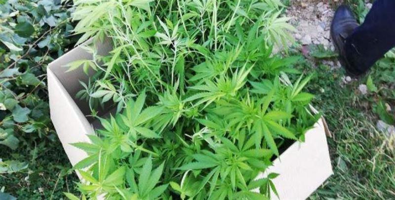 Коноплю выращивал во дворе дома житель Сарыагаша