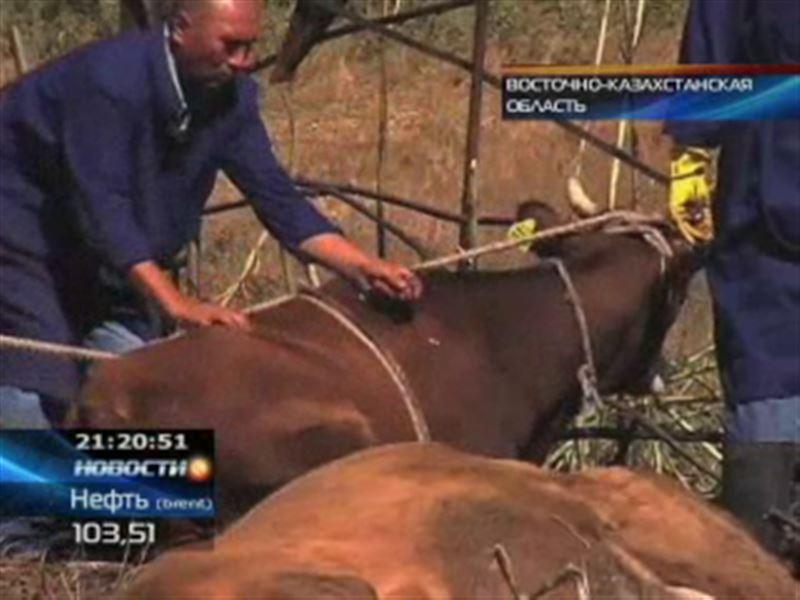 В ВКО вырезали 700 голов скота