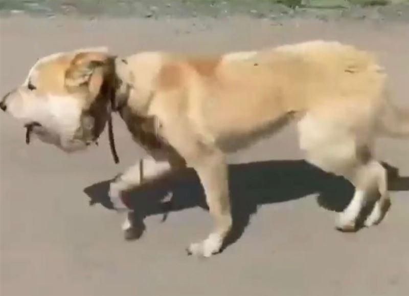 Резинка перетянула собаке горло до появления опухоли