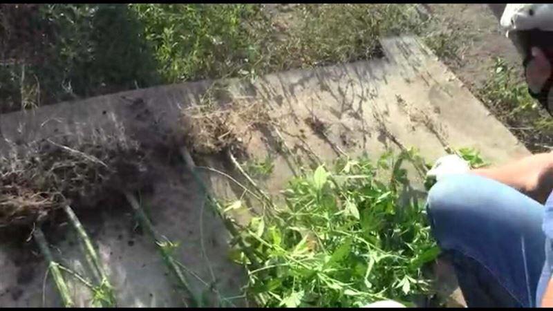 37 кустов конопли изъяли полицейские в ЗКО