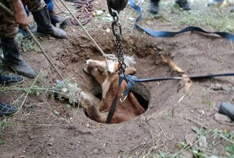 Корова провалилась в люк в Восточном Казахстане
