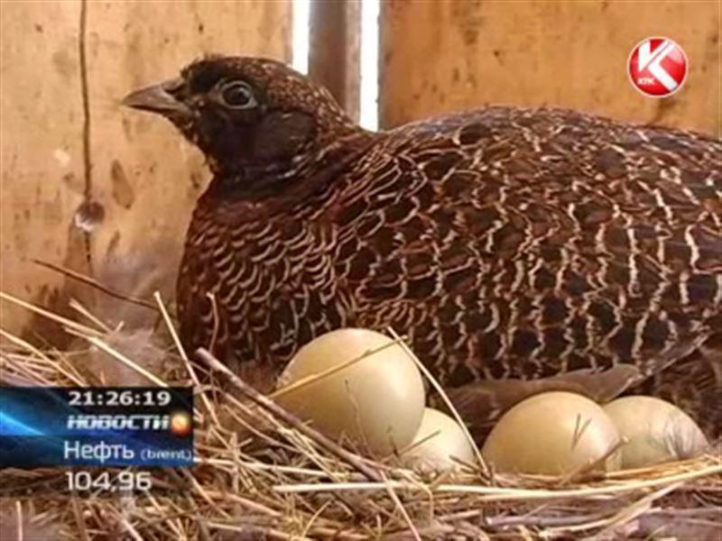 Птицевод из любопытства выпустил на волю 40 фазанов