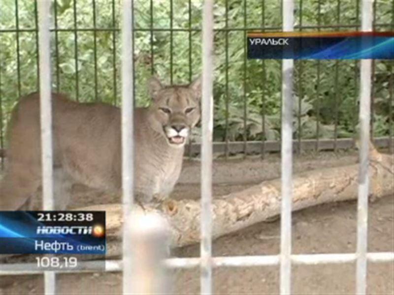В Уральске цирковая пума переехала в зоопарк