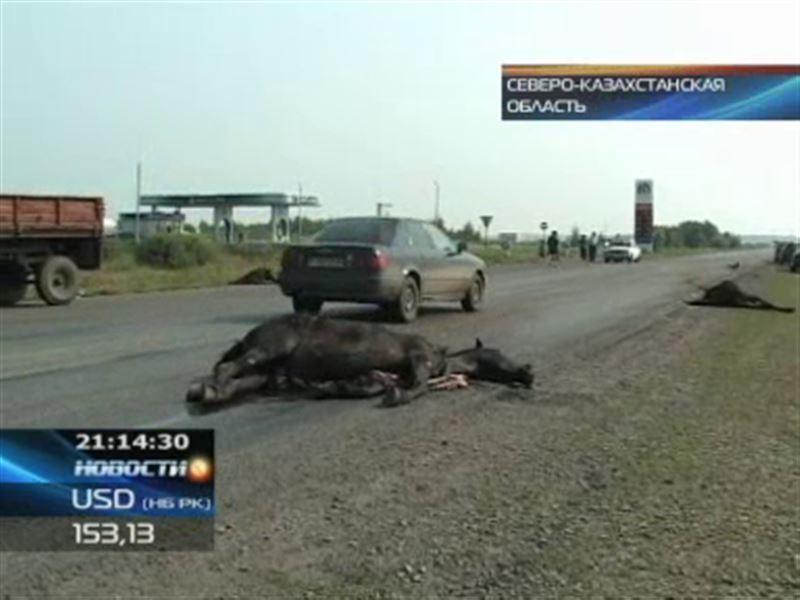 В Северо-Казахстанской области табун лошадей стал причиной аварии