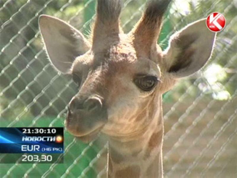 В алматинском зоопарке появился жирафенок по кличке Алатау