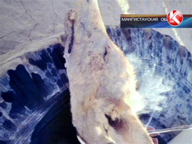 В Мангистауской области бывший сотрудник РУВД задушил напавшего на него волка