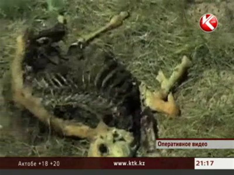 Назвали окончательную причину массовой гибели сайги в Центральном Казахстане