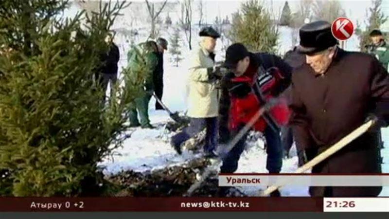 На новой набережной Уральска высадили 50 елей – под строгим взором акима