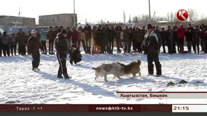 В Кыргызстане модным увлечением стали собачьи бои