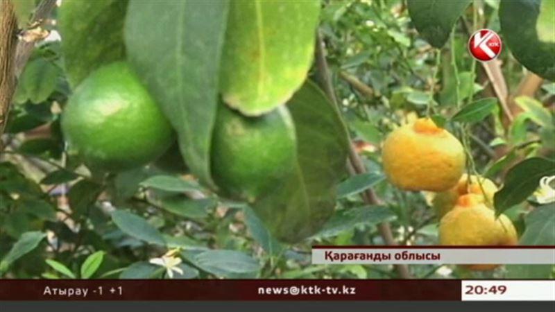 В Караганде собрали рекордный урожай грейпфрутов