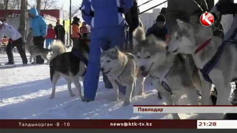 В Павлодаре впервые прошли гонки на собачьих упряжках