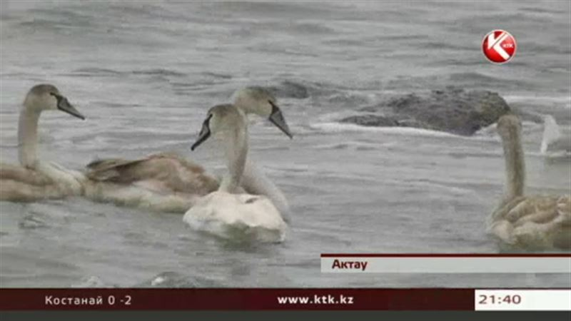 В Актау съезжаются жители других городов, чтобы увидеть лебедей
