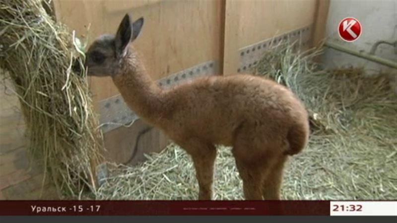 В алматинском зоопарке на свет появился детеныш ламы