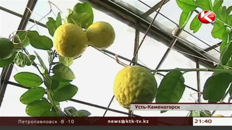 В пригороде Усть-Каменогорска собирают урожай инжира, бананов и даже кофе
