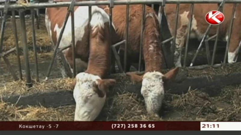 Ахметов грозит акимам увольнениями из-за коров