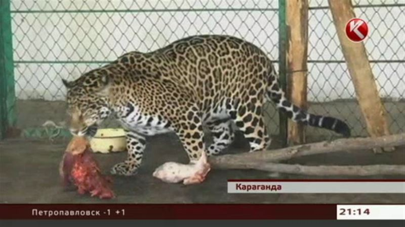 В зоопарке Караганды ягуарам публично скормили медвежонка