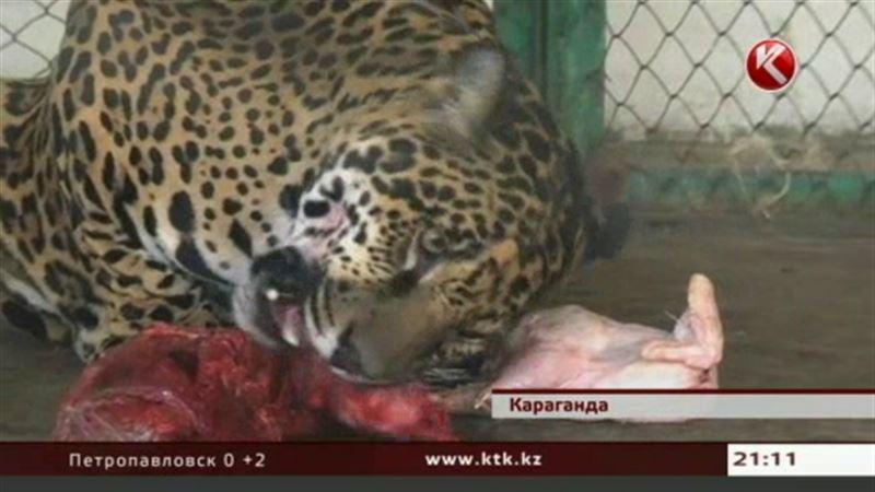 Защитники животных требуют наказать работников зоопарка, скормивших ягуарам медвежонка
