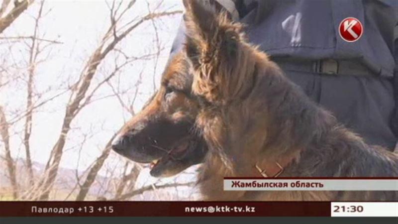 В Жамбылской области на профпригодность проверили собак