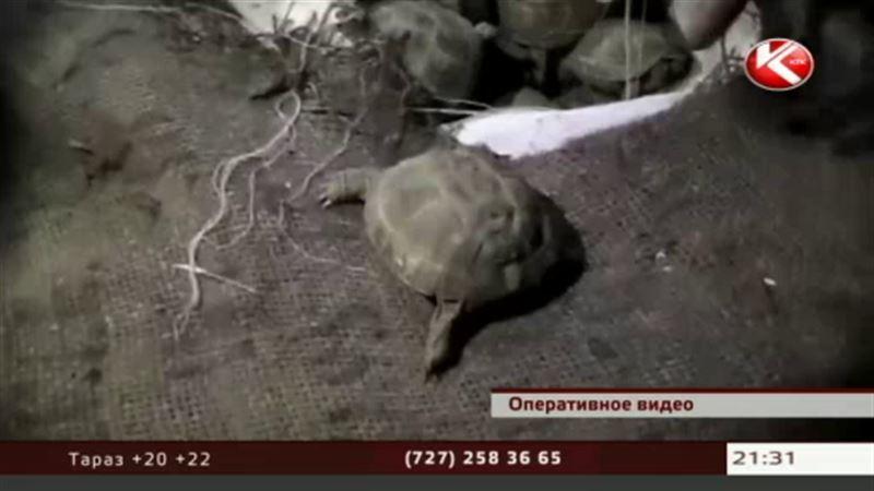 Три тысячи казахстанских черепах не доехали до российских ресторанов