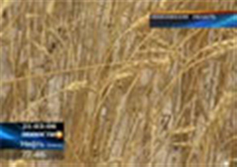 В Акмолинской области до сих пор не закончилась уборка, и тут погода тоже подвела фермеров