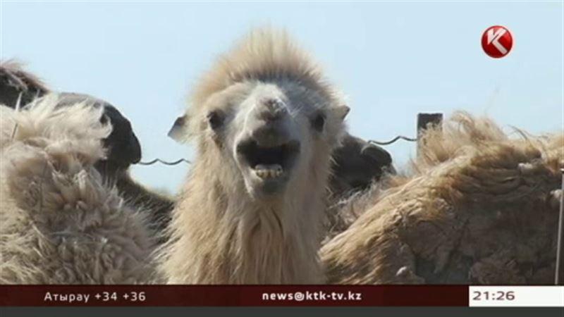 Казахстанские ветеринары обещают не пропустить в страну «верблюжий грипп»