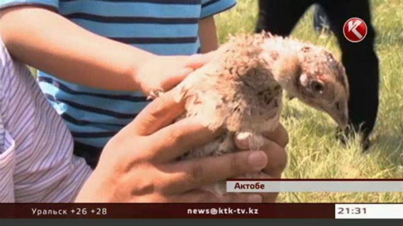 Сотню фазанов выпустили на волю в Актюбинской области