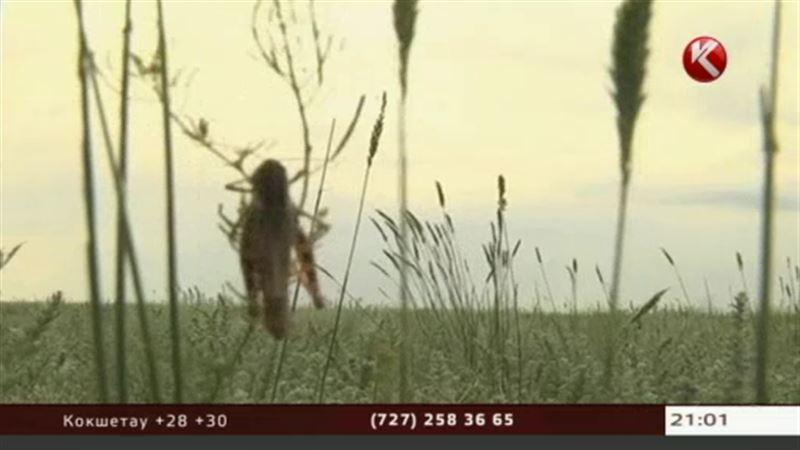 На борьбу с саранчой потратят три миллиарда тенге
