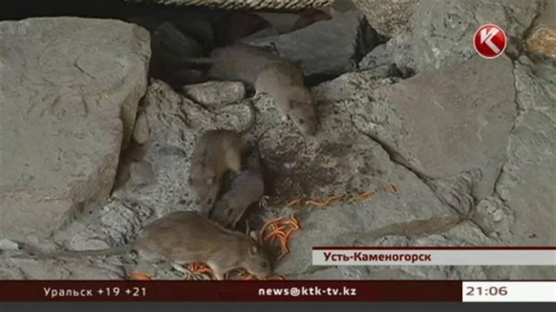 Полчища крыс в центре Усть-Каменогорска навели санврачей лишь на философские размышления