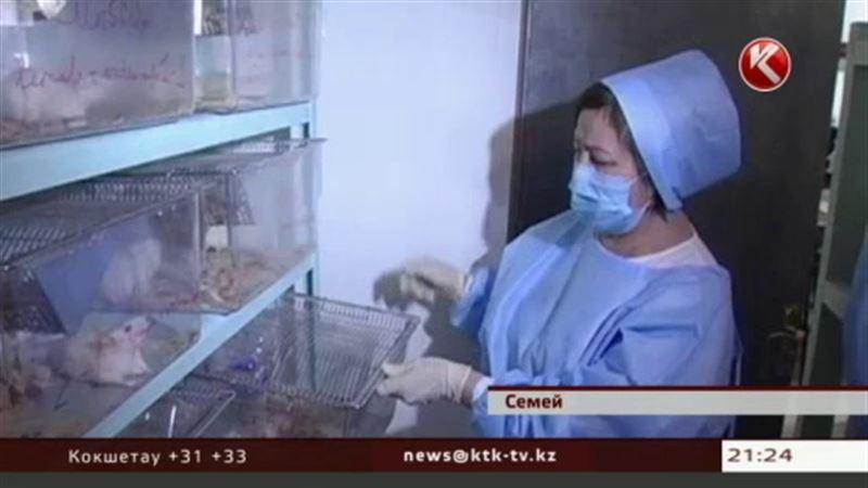 Японские ученые облучают крыс в Семее