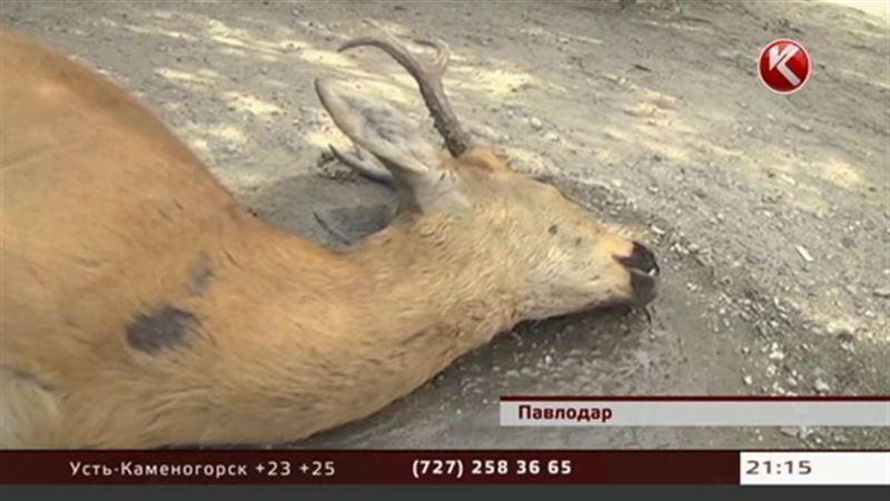 В Павлодаре под колесами авто оказалась косуля