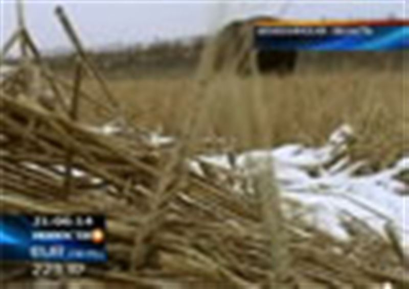 Чтобы даром не пропало: зерно, гниющее под снегом в Акмолинской области, решено пустить на корм скоту