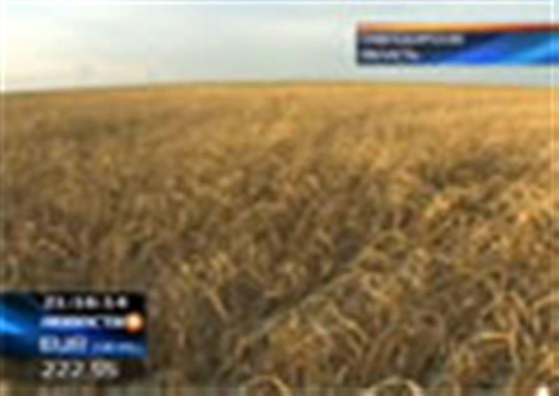В Павлодарской области под снегом остались  тысячи гектаров пшеницы