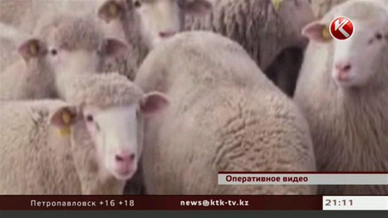 800 баранов незаконно перешли госграницу
