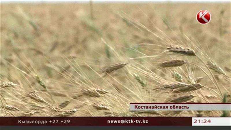 В Костанайской области не успел поспеть урожай