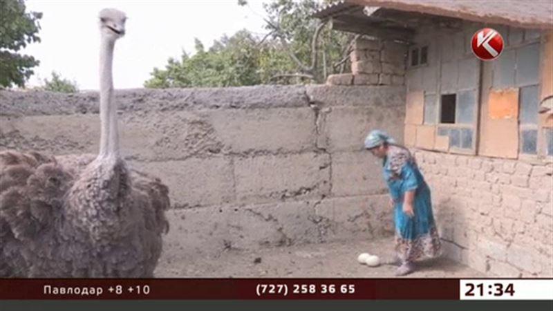 В обычном шымкентском дворе объявились африканские страусы