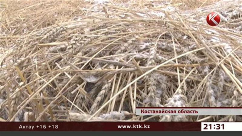 В Костанайской области из-за снега зерно осталось на полях
