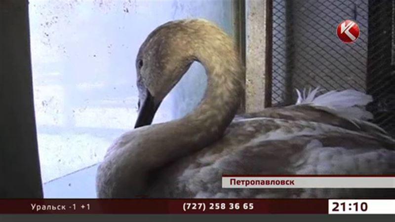 Под Петропавловском спасают лебедей