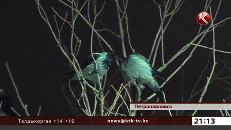 Вороны досаждают прокурорам и налоговикам Петропавловска