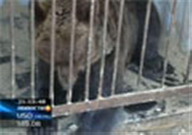 Дикий зверь в центре города! Одну из автостоянок Кокшетау охраняет настоящий медведь