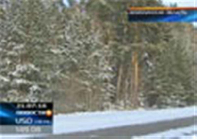 Лесничие Акмолинской области заявляют: рубить новогодние ели в угодьях региона браконьеры практически перестали