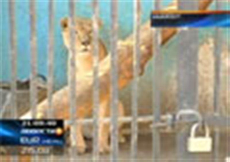 Бывший директор зверинца заявил, что из-за халатности нового руководства здесь погибли пятеро новорожденных львят