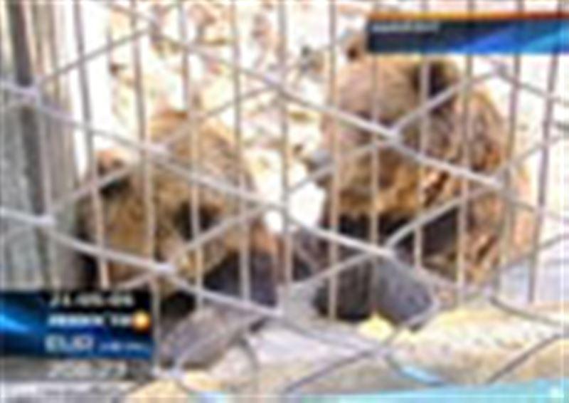 Новый скандал в шымкентском зоопарке: еще не утихли споры вокруг гибели львят, а теперь здесь умерли два новорожденных медвежонка