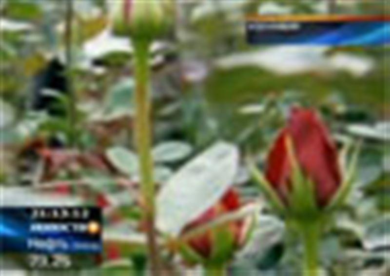 На день Святого Валентина американцы могут остаться без роз