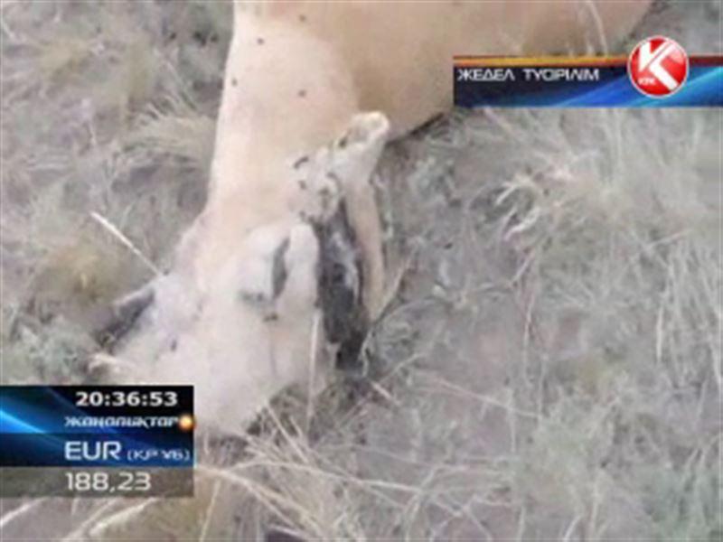Ақтөбеде браконьерлер киіктерді үйірімен қырып, мүйіздерін ғана кесіп алған