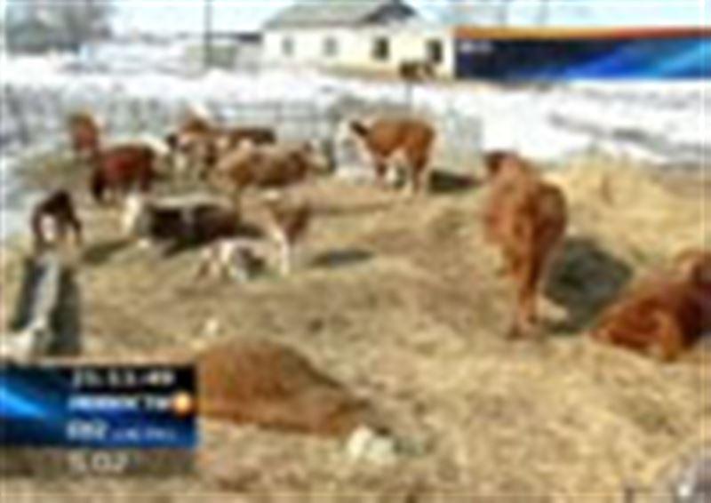 В Тарбагатайском районе начались поиски павшей скотины. К этому сельчан призвали восточно-казахстанские чиновники