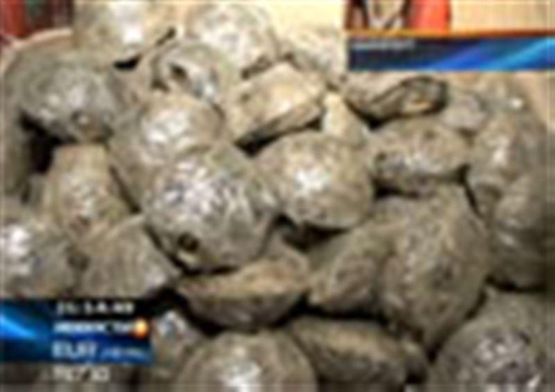 Житель ЮКО пытался незаконно переправить в Россию полторы тысячи детенышей среднеазиатской черепахи