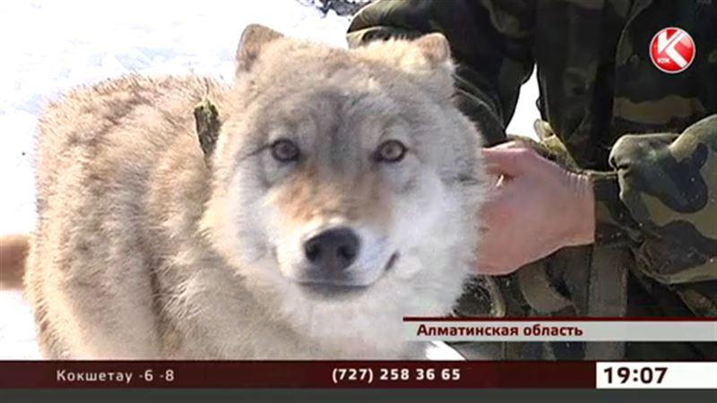 Казахстанцы взяли моду заводить дома волков