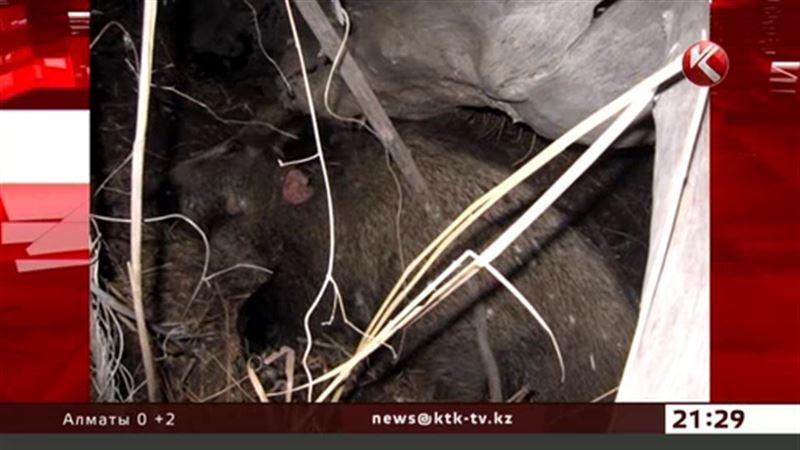 Эксперты рассказали, почему произошел массовый падеж диких кабанов