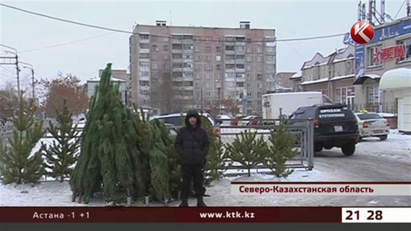 В Северном Казахстане на воровстве сосны попалась пенсионерка